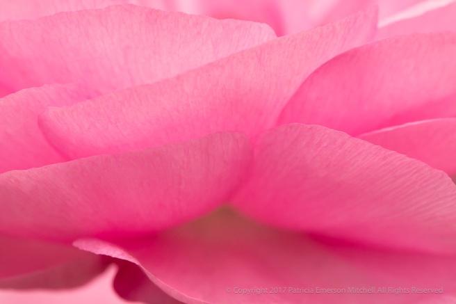 Pink_Ranunculus_Petals,_3.18.16.jpg