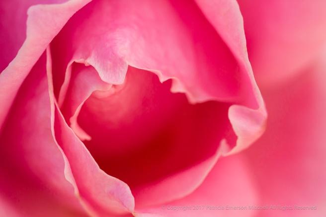 Pink_Rose,_11.4.16.jpg