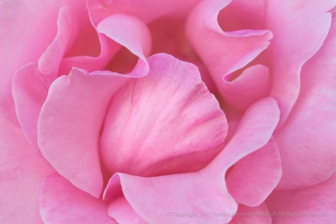 Pink_Rose,_9.23.16.jpg