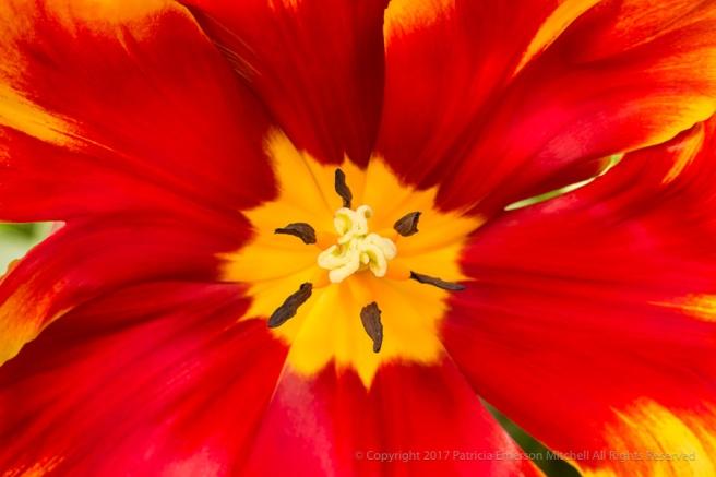 Red_&_Yellow_Tulip_(I),_3.15.16.jpg