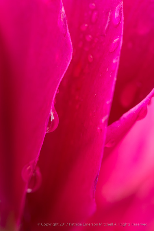 Water_Drops_on_a_Pink_Cyclamen,_11.2.16.jpg
