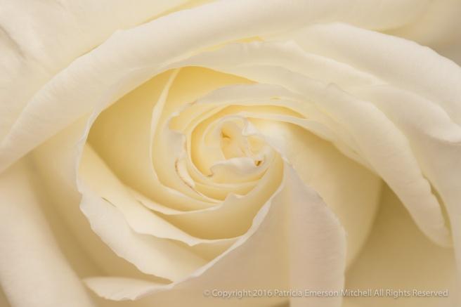 White_Rose_(I),_12.7.16.jpg