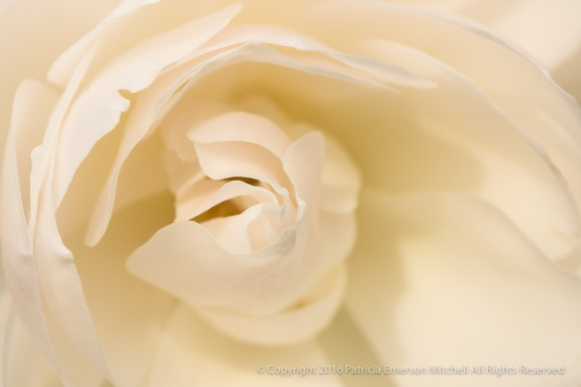 White_Rose_(II),_12.7.16.jpg