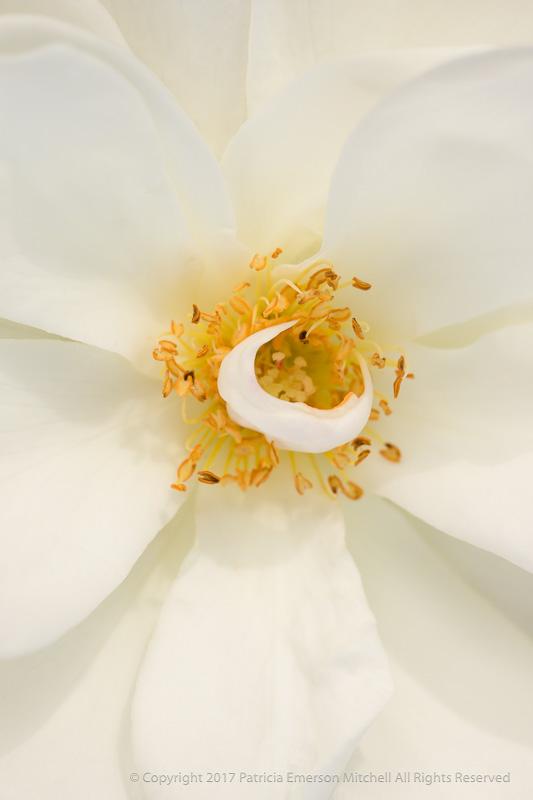 White_Rose_with_Yellow_Stamen,_11.7.16.jpg