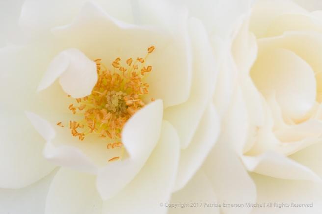 White_Roses,_4.18.16.jpg