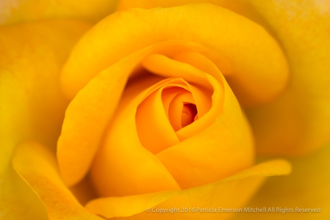 Yellow-Orange_Rose,_10.27.16.jpg