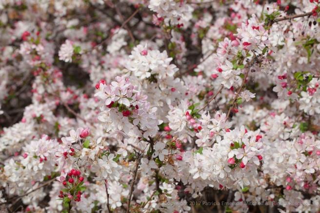 blossoms_i_3-10-15