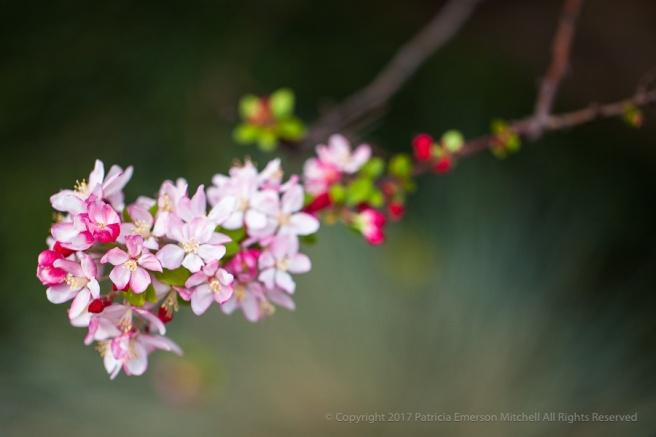 blossoms_ii_3-10-15