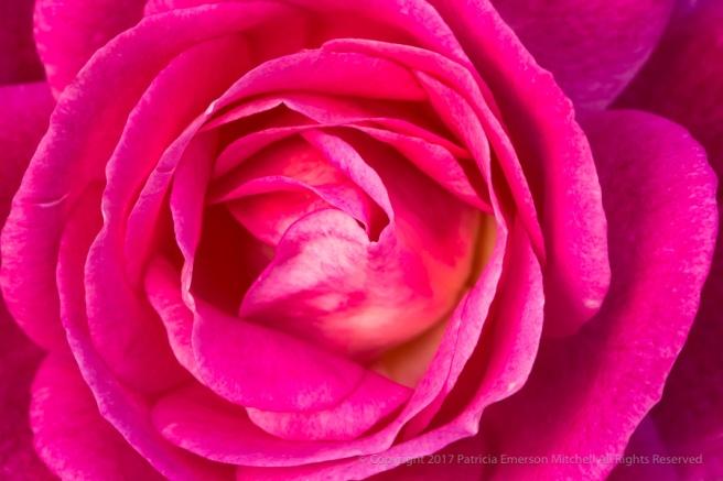 Easy_to_Please_Rose_(II),_11.15.16.jpg