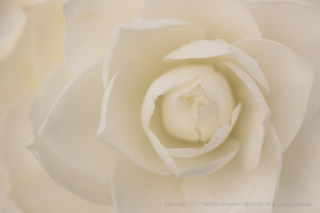 First_Shot-_White_Camellia,_2.27.17.jpg
