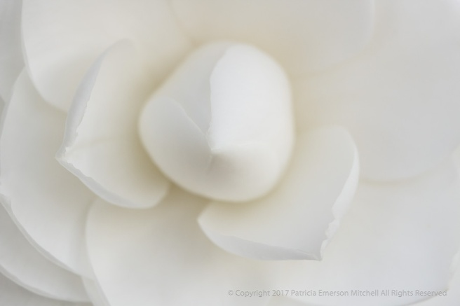 First_Shot,_White_Camellia,_2.23.17.jpg