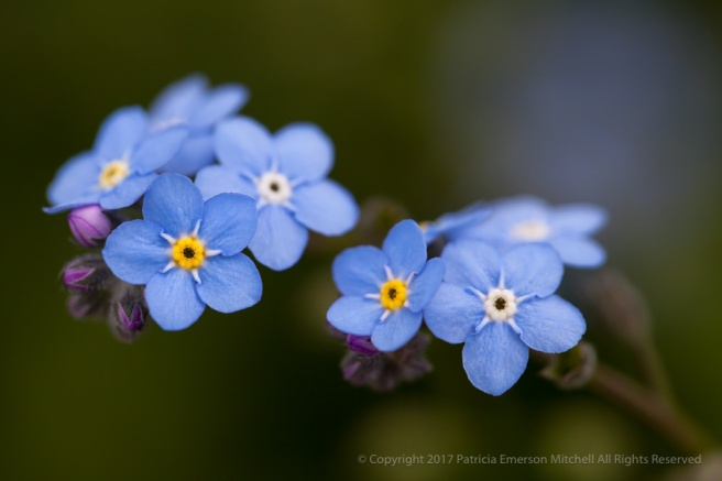Forget-Me-Not_Flowers,_3.19.15.jpg