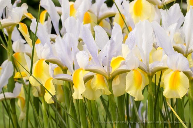 Iris_Garden_&_Raindrops_(I),_3.21.16.jpg