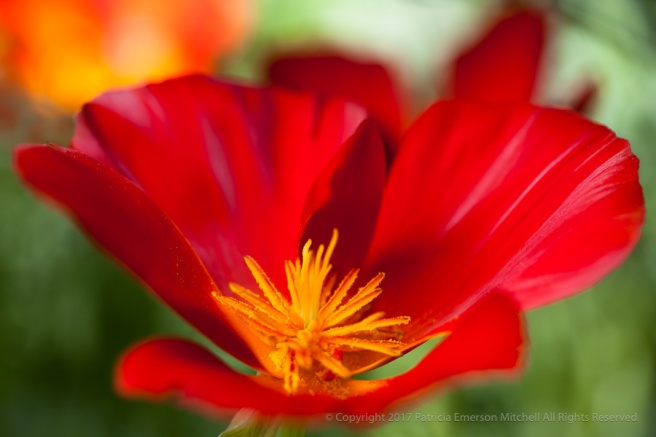 Red_Poppy (I),_3.28.15.jpg