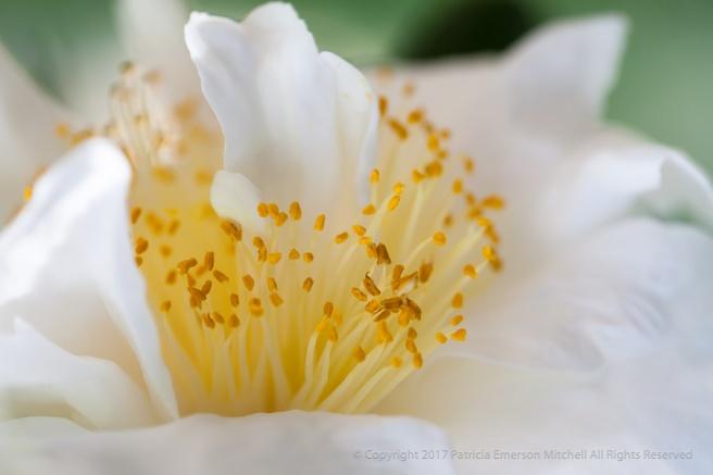 White_Camellia,_3.19.15.jpg