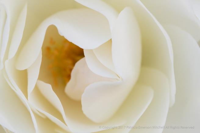 White_Rose,_4.18.16.jpg