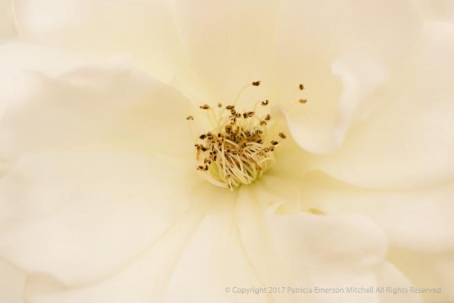White_Rose_(I),_10.24.16.jpg