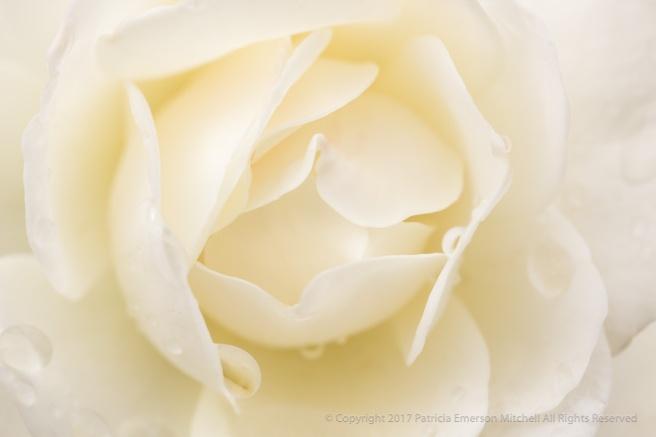 White_Rose_(I),_10.28.16.jpg