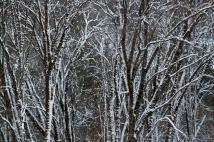 Winter Trees (II), Yosemite, 12.31.15