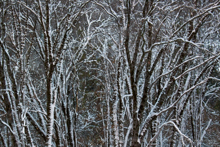Winter_Trees_(II),_Yosemite,_12.31.15.jpg