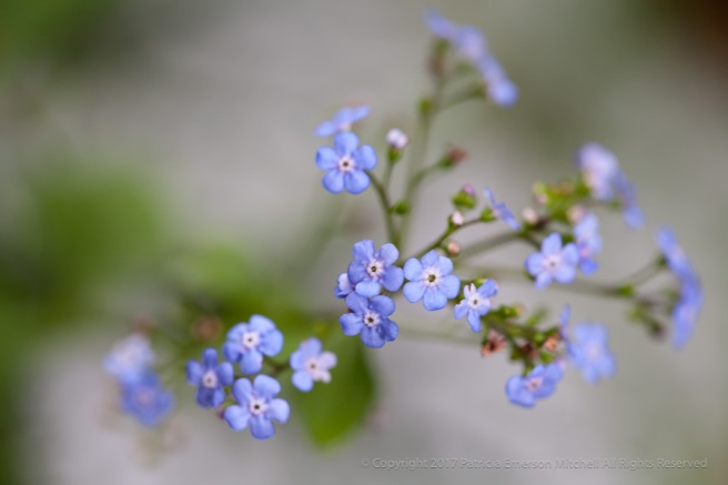 Forget-Me-Nots,_4.21.15.jpg