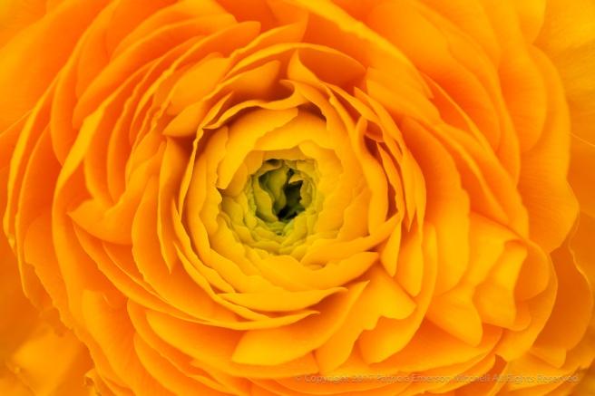 Golden_Ranunculus,_2.17.15.jpg