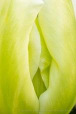 Green Tulip, 3.28.17