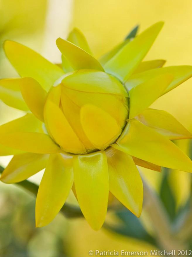 Helichrysum bracteatum.jpg