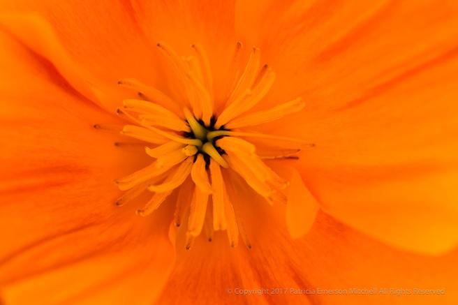 Orange_Poppy,_3.3.17.jpg