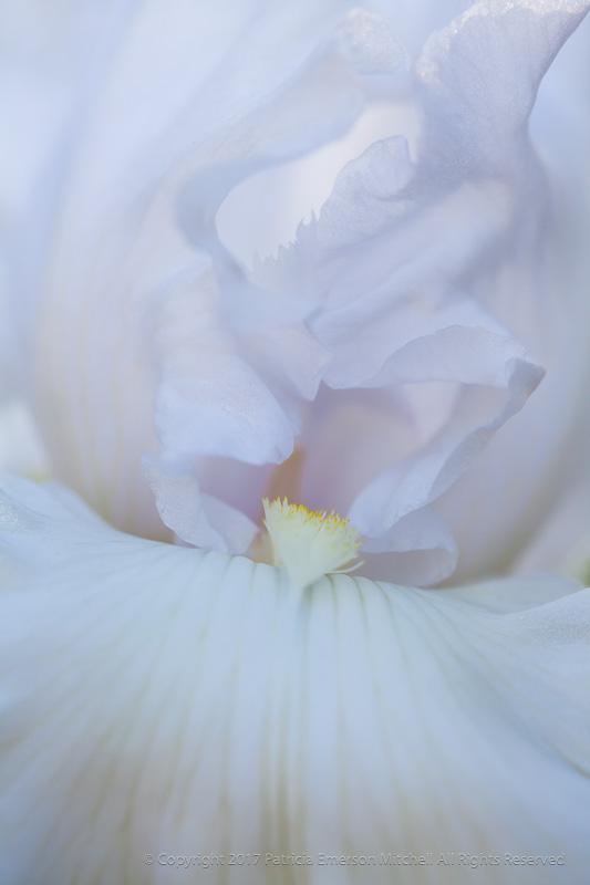 Pale_Lavender_Iris,_4.28.15.jpg