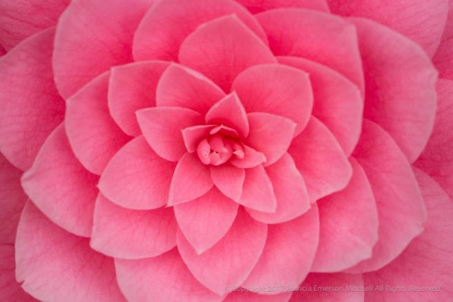 Pink_Camellia_(I),_3.10.17.jpg