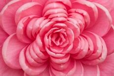 Pink Camellia (II), 3.10.17