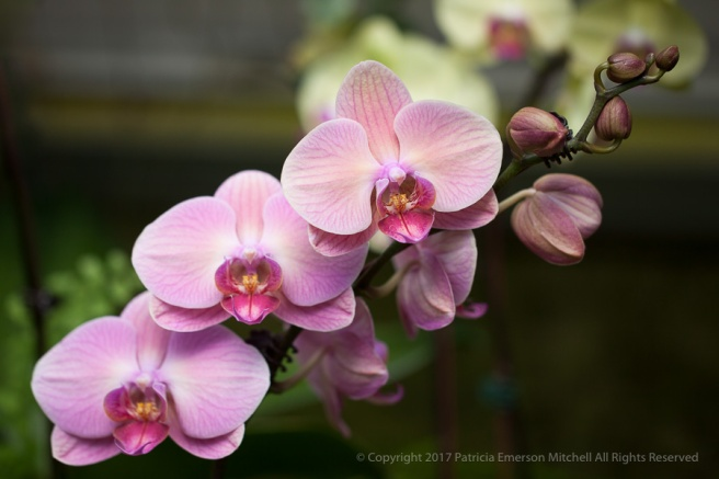 Pink_Orchids,_3.27.15.jpg