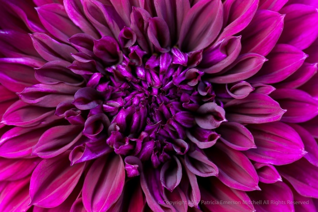 Purple_Dahlia,_7.5.15.jpg