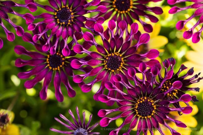 Purple_Whirligig_Osteospermum,_3.29.17.jpg