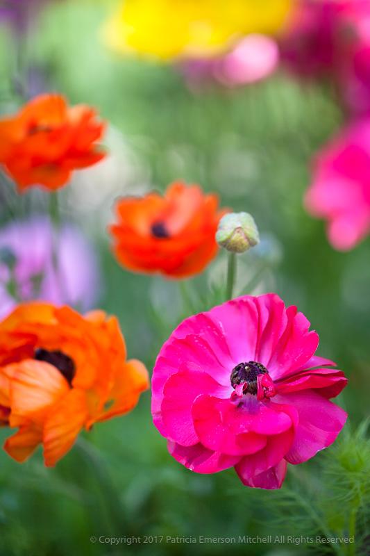 Ranunculus_Flowers,_4.3.15.jpg