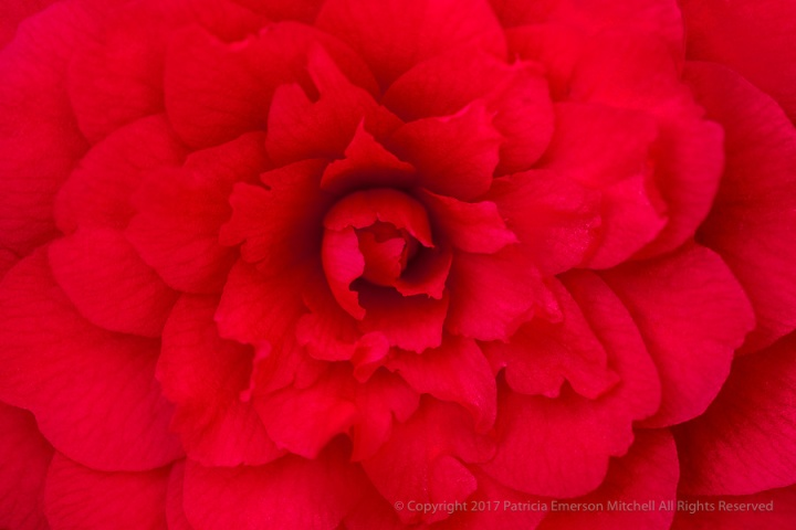 Red_Camellia,_3.7.17.jpg