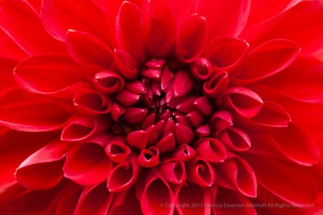 Red_Dahlia_(I),_8.6.15.jpg