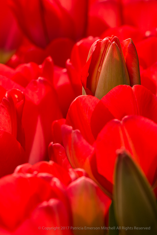 Red_Tulips,_3.7.17.jpg