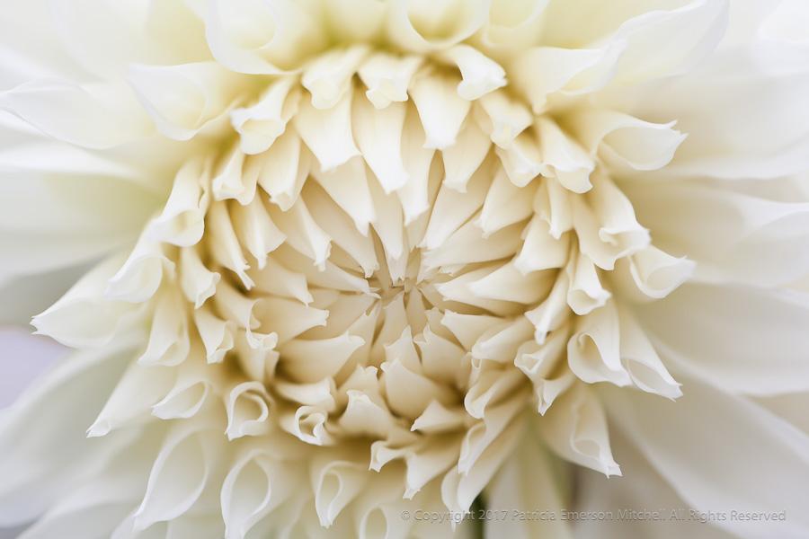 White_Dahlia_(II),_7.8.15.jpg