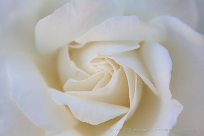 White_Rose,_9.15.15.jpg
