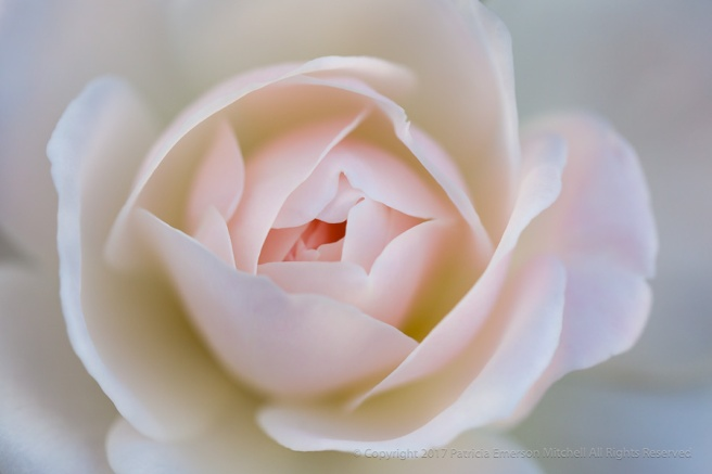 A_Pastel_Rose,_3.3.15.jpg