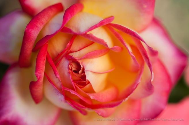 Asagumo_Rose,_10.26.15.jpg