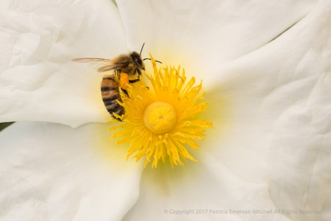 Cistus_laurifolius_&_a_Bee,_4.10.17.jpg
