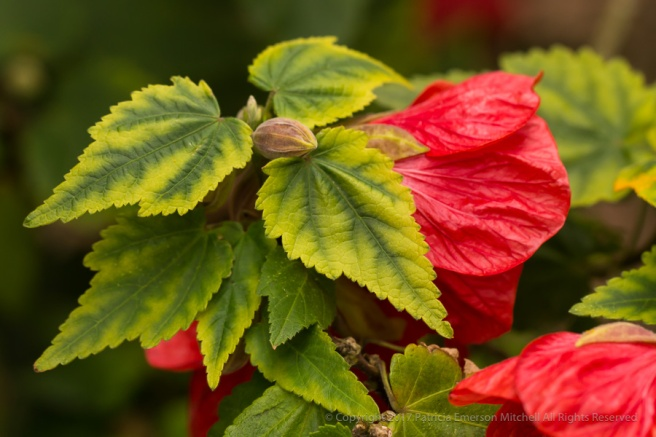Flowering_Maple,_4.24.17.jpg