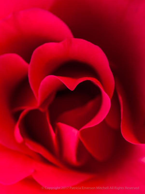 Red_Rose_Heart,_12.2.15.jpg