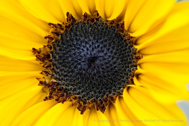 Sunflower_(I),_12.10.14.jpg
