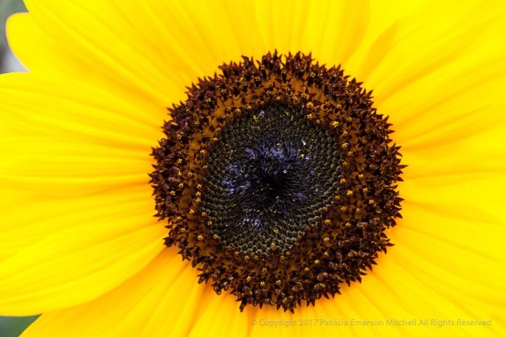 Sunflower_(II),_12.10.14.jpg