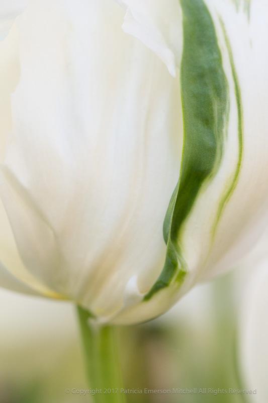 White_&_Green_Tulip,_4.4.17.jpg