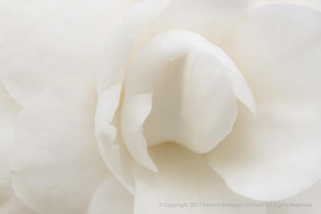White_Camellia_(I),_2.23.17.jpg